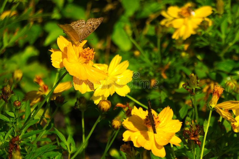 A beautiful brown, orange and black Thai butterfly atop a stunning group of yellow flowers, in a Thai garden park. stock photos
