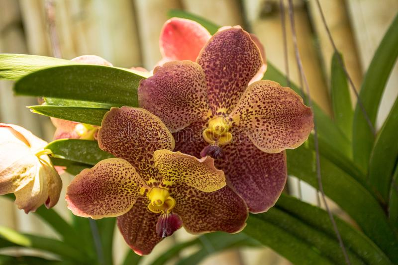 Beautiful brown orchid flowers in the tropical garden royalty free stock images