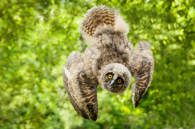 A brown owl is flying in the forest stock photos