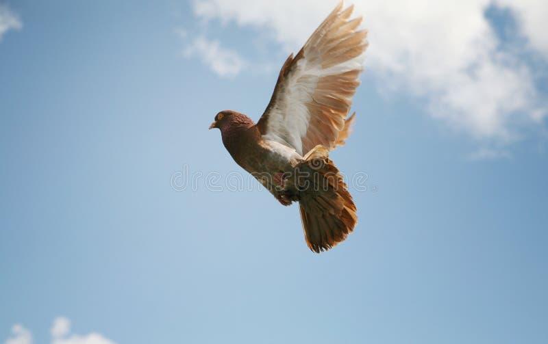 Beautiful brown pigeon in flight royalty free stock photos