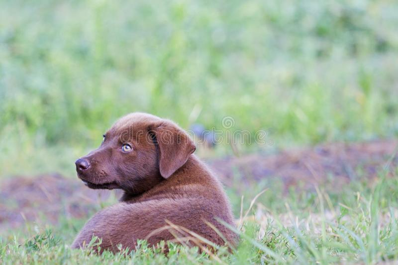 Beautiful brown puppy lies in green grass. Breath of autumn royalty free stock image