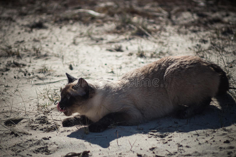 Beautiful brown Siamese cat on the beach, red tongue licked stock photo