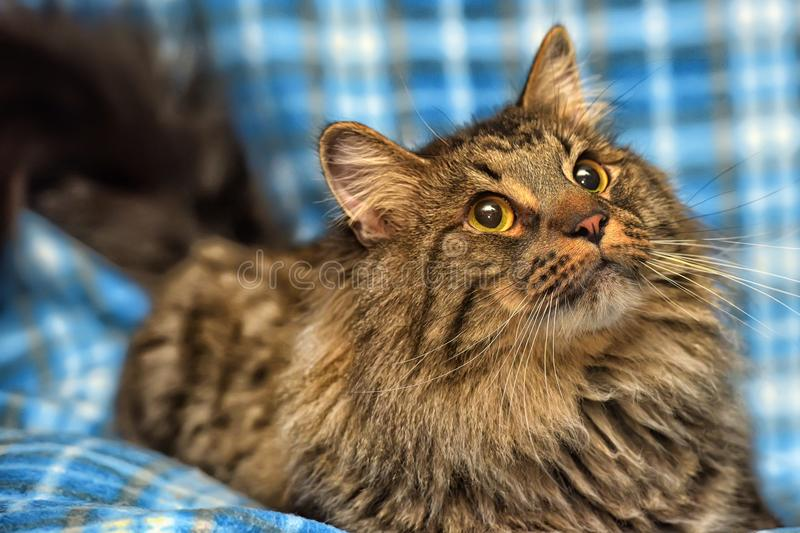 Beautiful brown Siberian cat lies on a blue. Background royalty free stock images