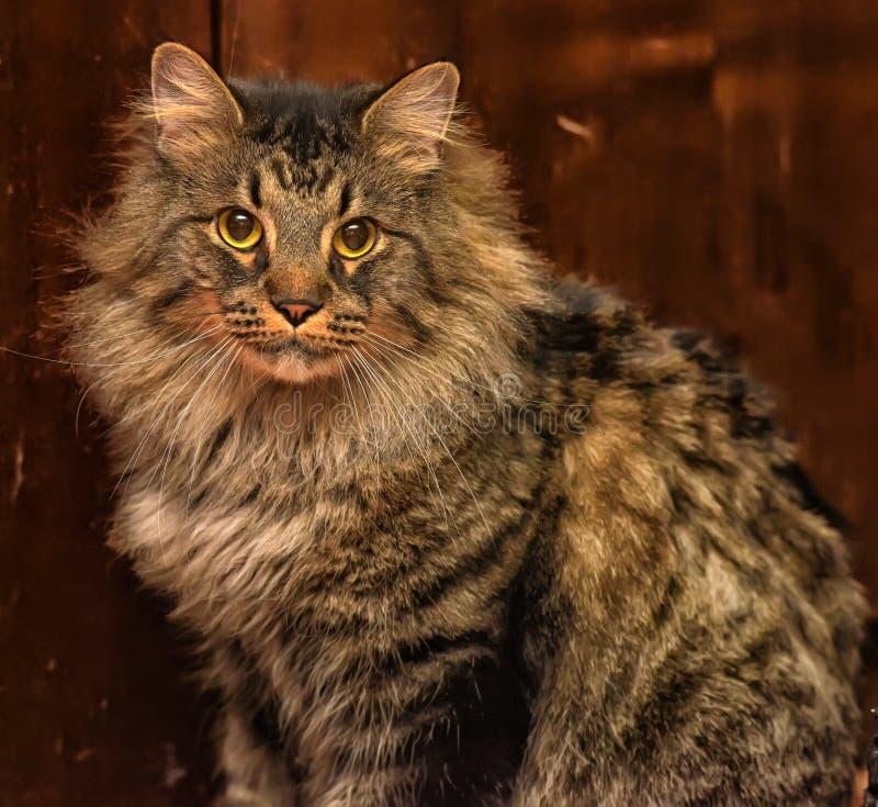 Beautiful brown Siberian cat. Portrait royalty free stock image