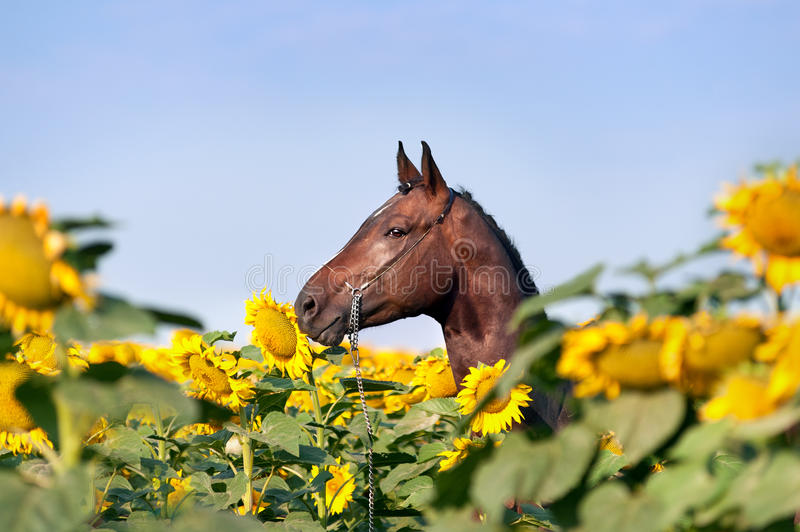 Beautiful brown sports horse with braided mane in halter standing in the field with large yellow flowers which his shield. Portrait of a horse on a background royalty free stock photo