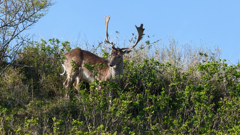 Beautiful brown spotted fallow deer standing between bushes on a dune. royalty free stock photo