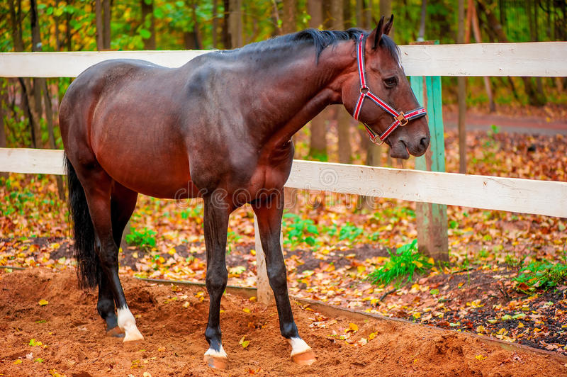 Beautiful brown strong horse royalty free stock photography
