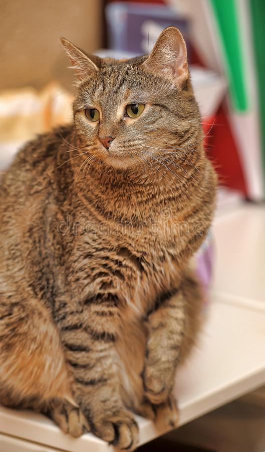 Beautiful brown tabby cat. Close royalty free stock images