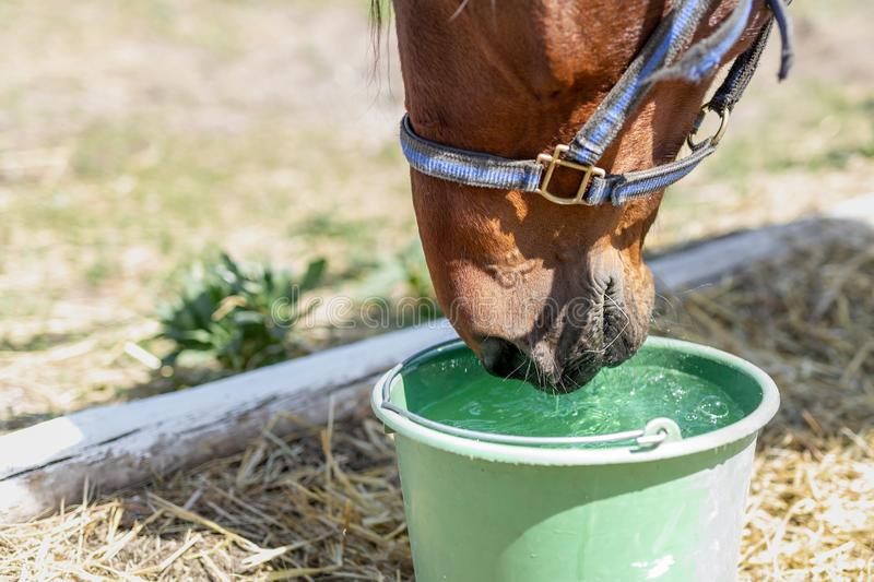 Beautiful brown thoroughbred horse drinking water from bucket. Thirst during hot summer day. Thirsty animal at farm royalty free stock photography