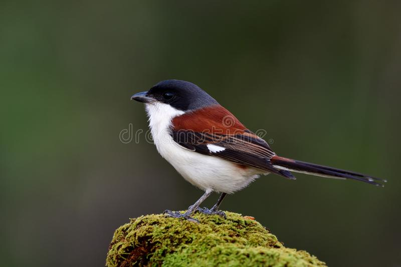 Beautiful brown to red brown bird with grey to black head and lo. Ng tail perching on mossy ground over fine blur background in nature, Burmese Shrike ( royalty free stock photo