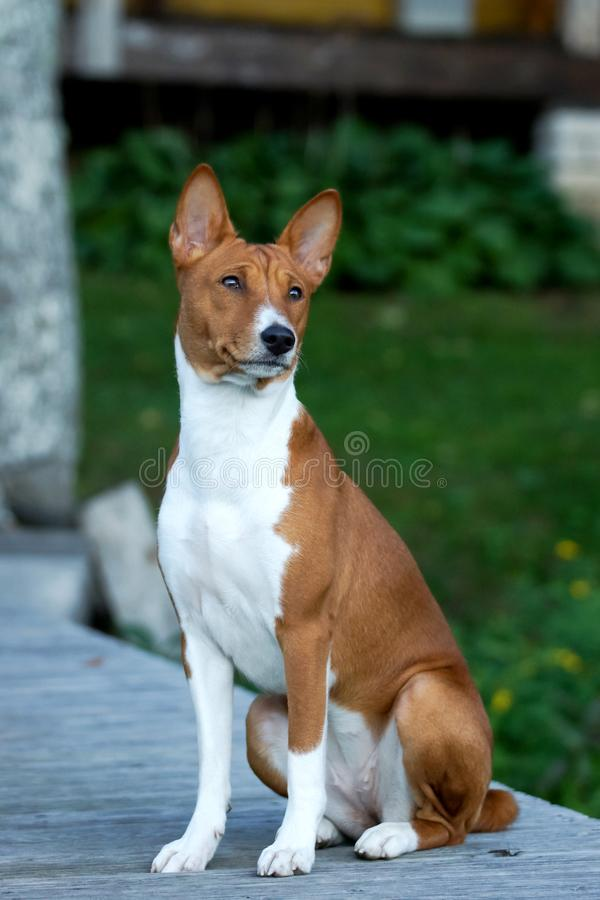 A beautiful brown and white Basenji dog head portrait stock images