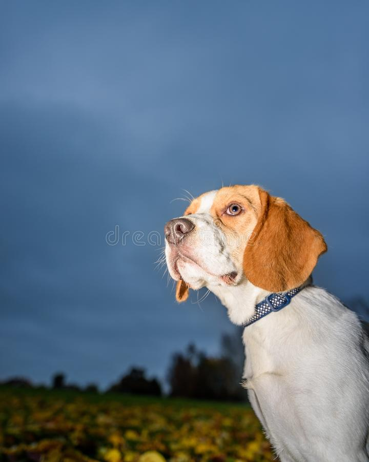 Beautiful, Brown And White Beagle Dog Puppy stock photography