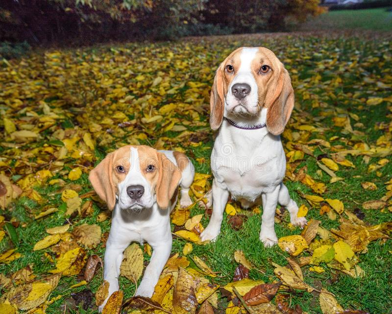 Beautiful, Brown And White Beagle Dog Puppy royalty free stock image