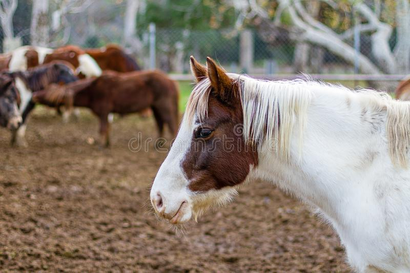 A beautiful Brown and White horse on a farm.  The background is in very soft focus and includes several other horses in view stock photography