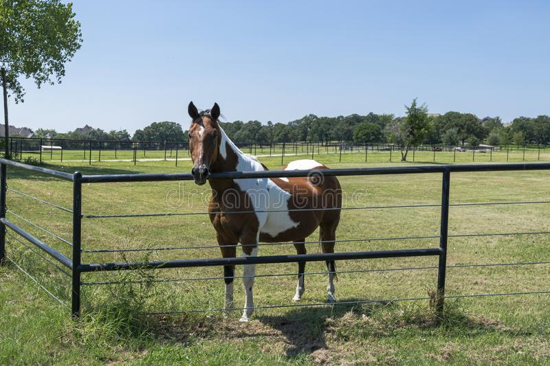 Beautiful brown and white paint horse next to fence. A beautiful brown and white horse standing behind a metal pipe fence in a rural, ranch pasture with his head stock photo