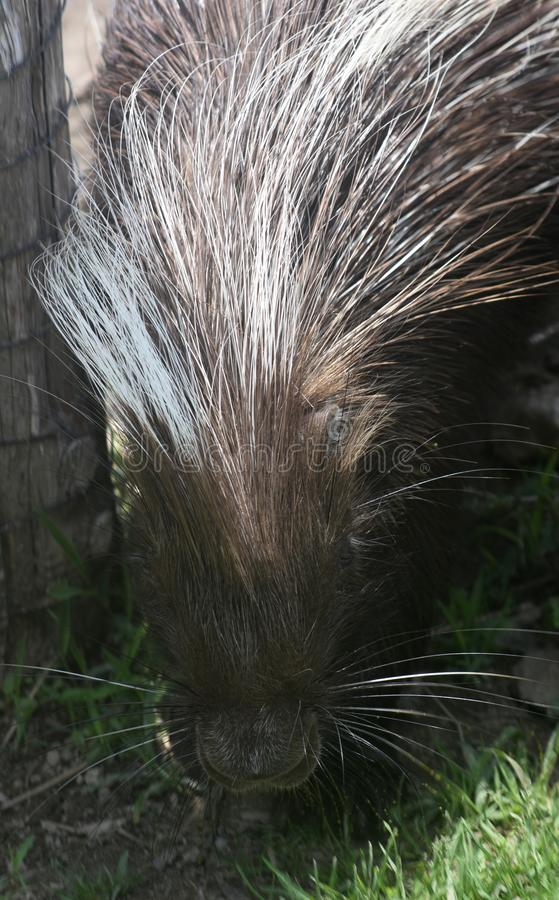 Beautiful brown and white prickly quills on a porcupine stock photo