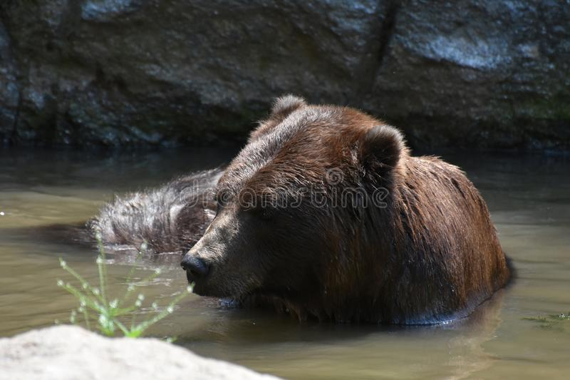 Beautiful brown bear bathing itself in the wild royalty free stock images