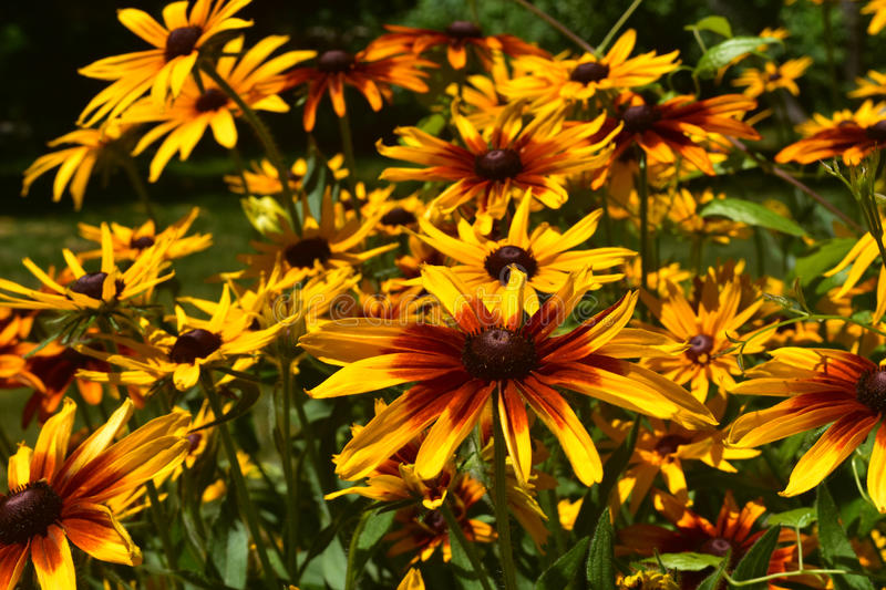 Beautiful Brown and Yellow Poor Land Daisies royalty free stock photography