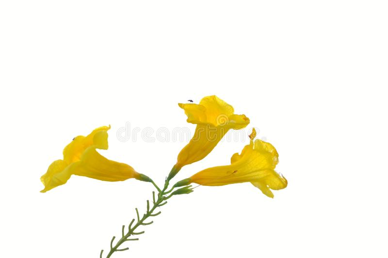 A beautiful brunch of yellow trumpetbush flower blossom on white isolated background royalty free stock images