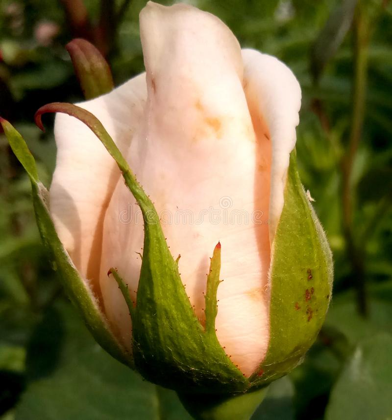 A beautiful bud is not blooming roses stock photography