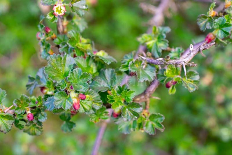 Beautiful buds of gooseberry flowers. Beautiful buds of gooseberry flowers stock image