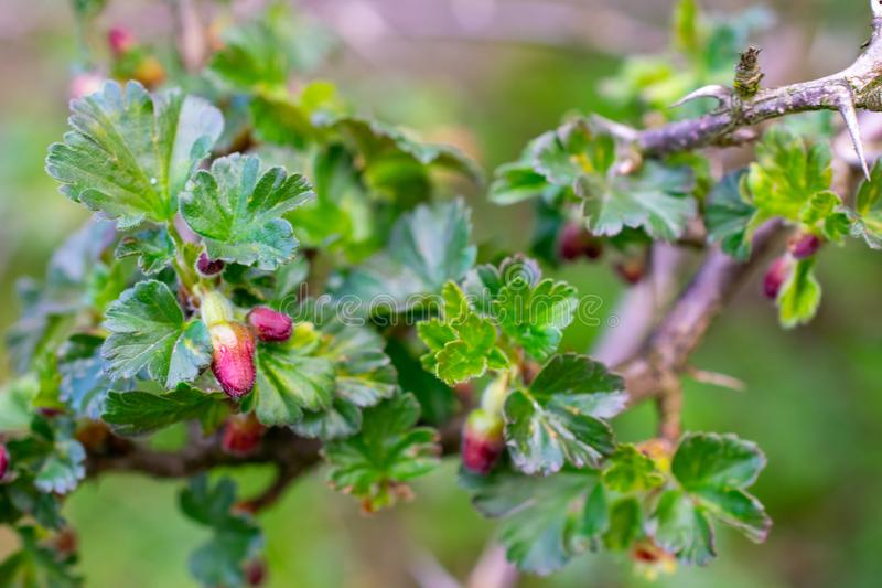 Beautiful buds of gooseberry flowers.  royalty free stock photos