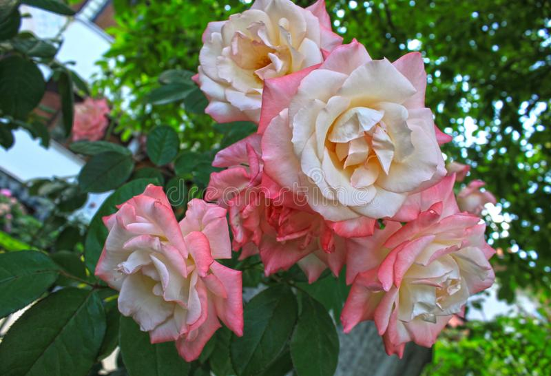 A beautiful bunch of colorful roses royalty free stock image