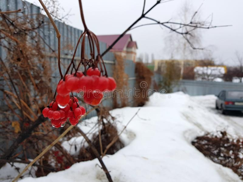 A beautiful bunch of viburnum or mountain ash on the background of snow in winter or spring. Beautiful juicy bunch of viburnum or mountain ash on a background of stock photos