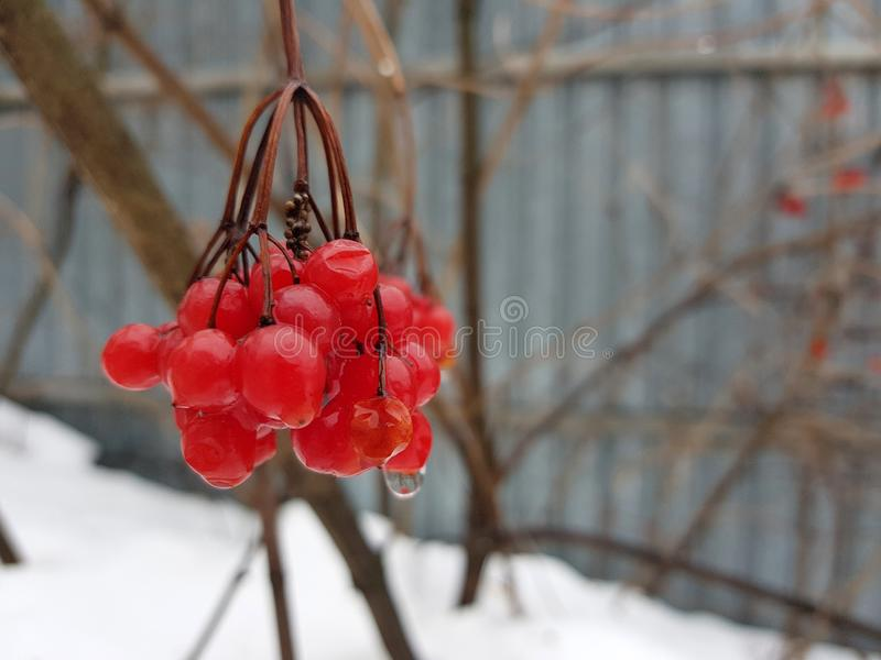 A beautiful bunch of viburnum or mountain ash on the background of snow in winter or spring. Beautiful juicy bunch of viburnum or mountain ash on a background of royalty free stock photo