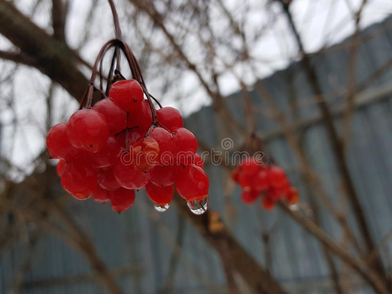 A beautiful bunch of viburnum or mountain ash on the background of snow in winter or spring. Beautiful juicy bunch of viburnum or mountain ash on a background of stock images