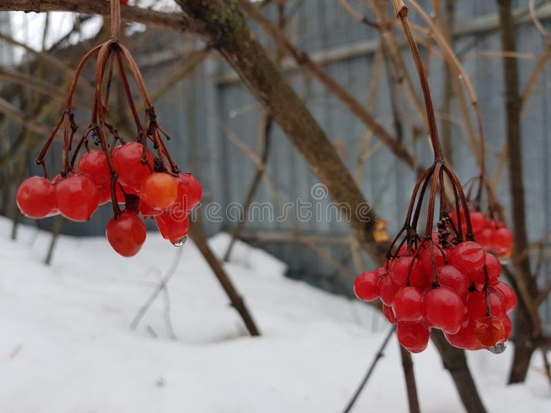A beautiful bunch of viburnum or mountain ash on the background of snow in winter or spring. Beautiful juicy bunch of viburnum or mountain ash on a background of stock image