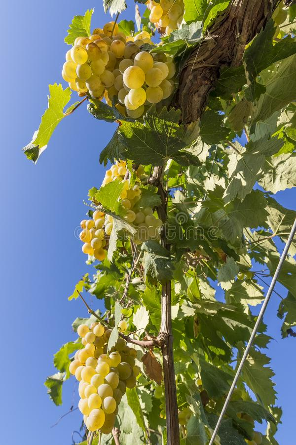 Beautiful bunches of white grapes taken from below against the blue sky of a sunny day royalty free stock image