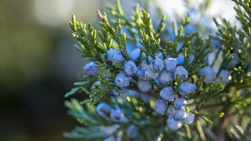 Beautiful bush of a juniper with berries stock photography