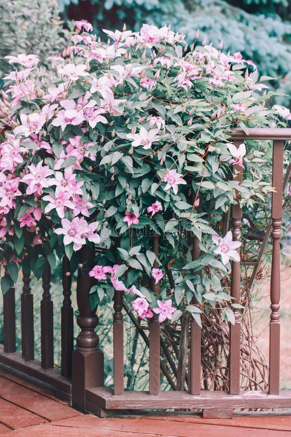 Beautiful bush of light pink clematis blossom on wooden porch near house. During spring summer day. Blooming tender pale flowers of buttercup family royalty free stock photography