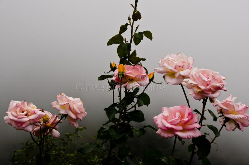 Beautiful bush of pink roses in the fog. A bush of elegant pink roses ist blooming in the fog. It was found in a small park stock images