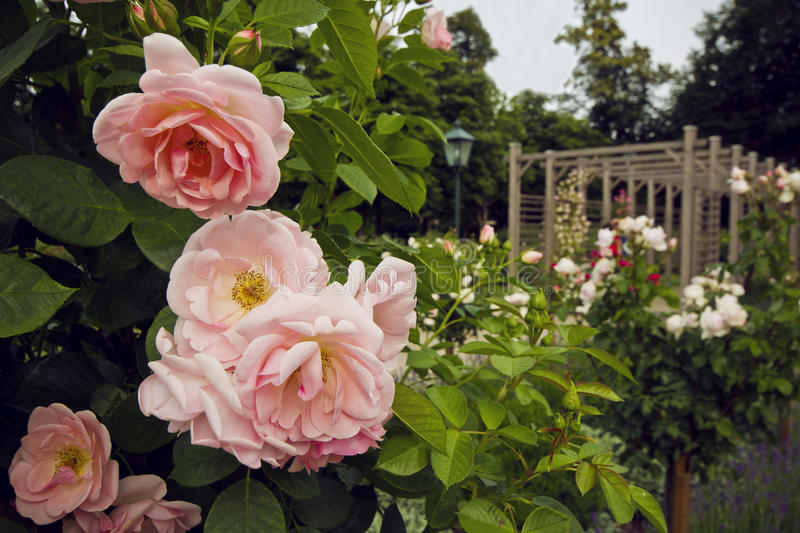 Beautiful bush of pink roses in the garden in Baden, Austria. Blooming rosary. Beautiful bush of pink roses in the garden in Baden. Blooming shrub in rosary royalty free stock photo