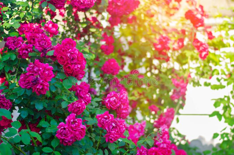 Beautiful bush of pink roses in a spring garden on a sunny day royalty free stock image