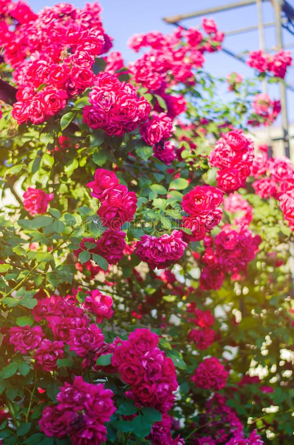 Beautiful bush of pink roses in a spring garden on a sunny day stock photo