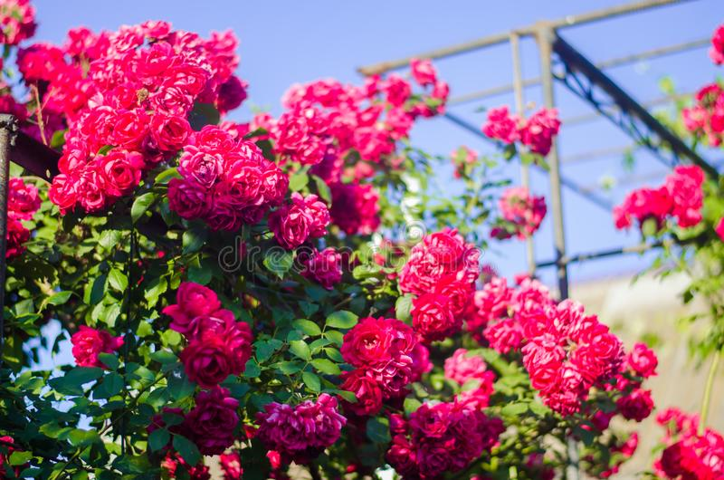 Beautiful bush of pink roses in a spring garden on a sunny day royalty free stock photography