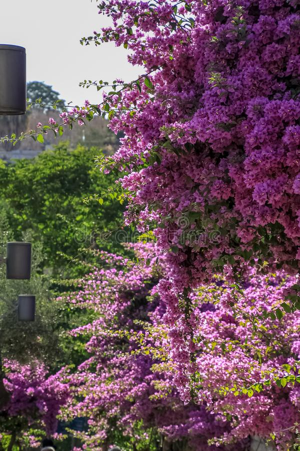 Beautiful bush of purple bougainvillea blossoming in the Garden of Gethsemane, Jerusaelm. Israel stock photos