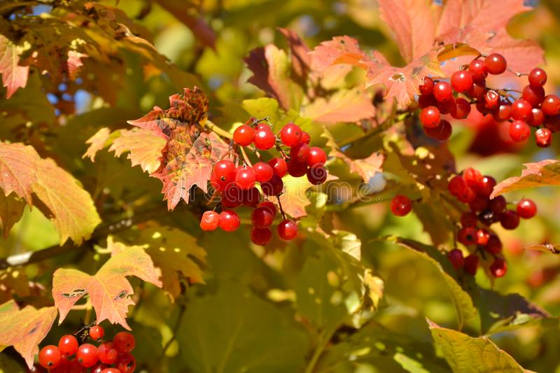 Beautiful bush of Red Viburnum medicinal plant with bunches of bright red berries and fresh green leaves in sunlight. royalty free stock photography