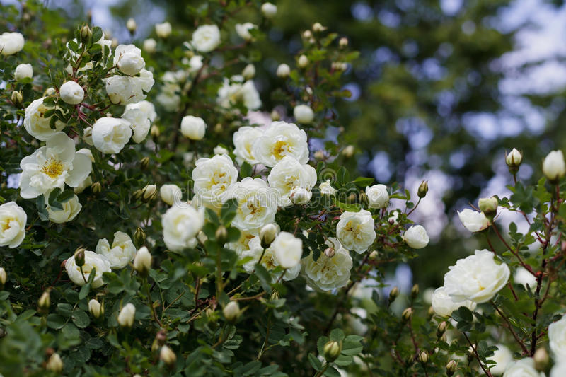 Beautiful bush with white flowers of wild english rose in the garden, lovely landscape of nature. Shallow dof stock photos