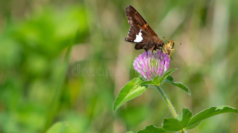 Beautiful Butterflies Sharing A Midday Meal royalty free stock images