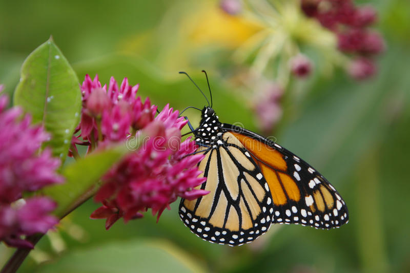 Beautiful Butterfly royalty free stock photos