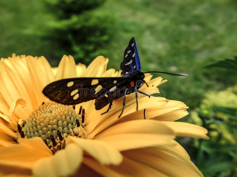 Beautiful butterfly Amata Phegea sits on a on a yellow flower. Close-up. Open air. Nature concept for design stock photo