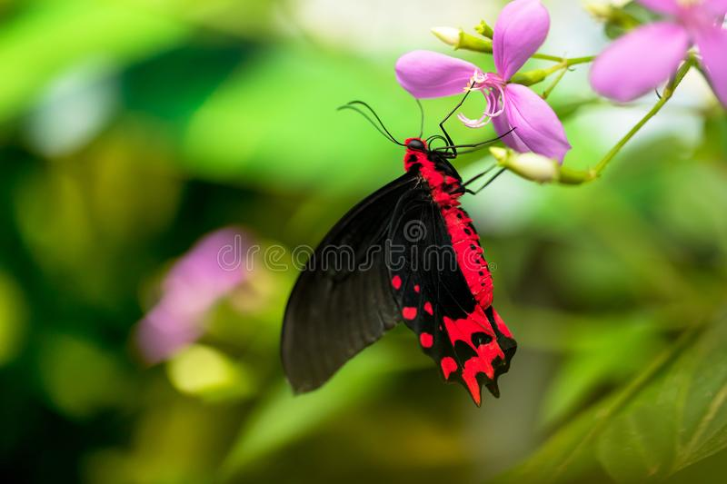 Beautiful butterfly Antrophaneura semperi in tropical forest. Sitting on blossom. Tropical nature of rain forest, butterfly insect macro photography stock photography