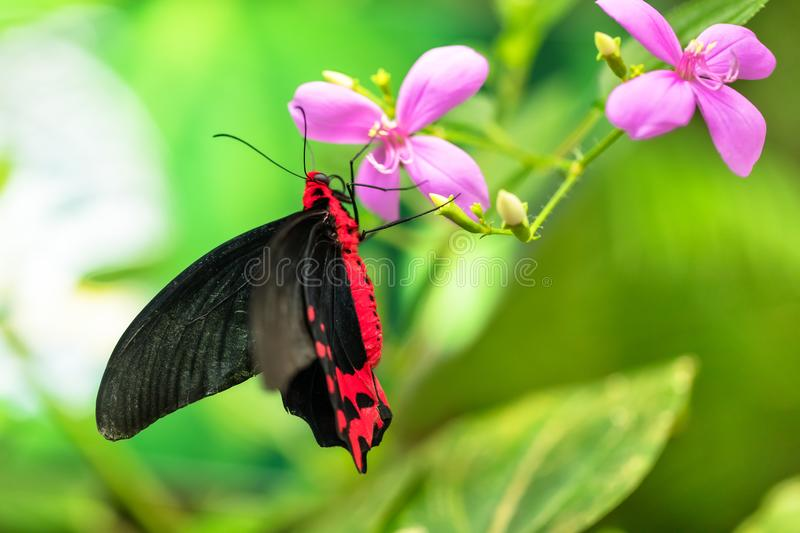 Beautiful butterfly Antrophaneura semperi in tropical forest. Sitting on blossom. Tropical nature of rain forest, butterfly insect macro photography stock images