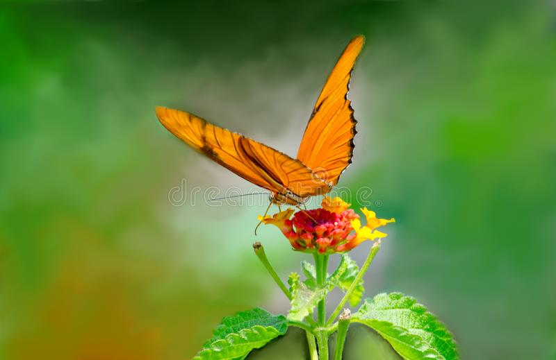 Orange Julia Butterfly on the tip of a flower royalty free stock photo