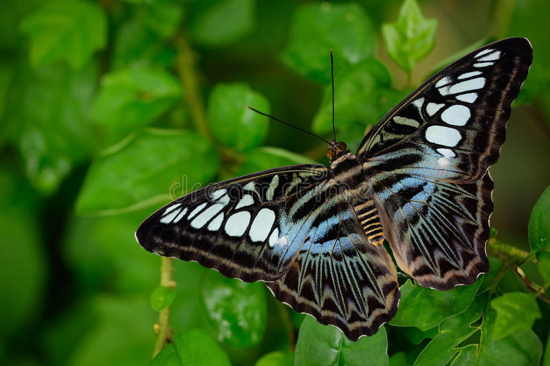 Beautiful butterfly, Clipper, Parthenos sylvia. Butterfly resting on the green branch, insect in the nature habitat. Butterfly sit royalty free stock photography