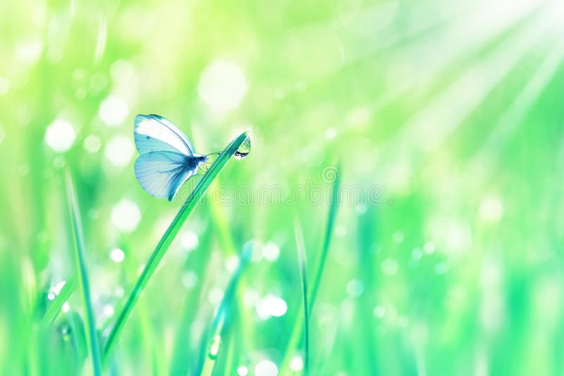 Beautiful butterfly and dew drops on the green tender grass. Summer spring fresh background. Copy spac. E. Artistic natural image stock image